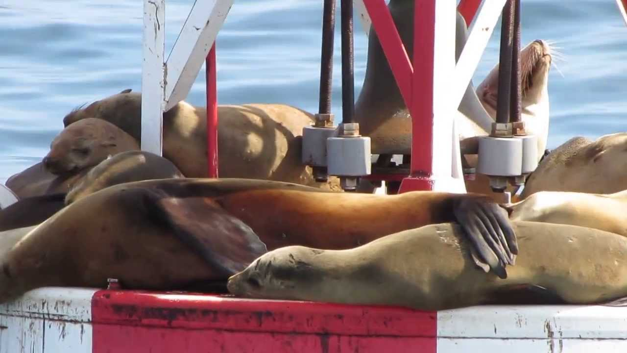 Sea Lions Lounging On Ocean Buoy Newport Beach Whale Watching Tour March 2017 California