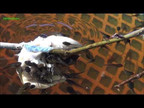 Hyla arborea tadpoles   Kaulquappen 4