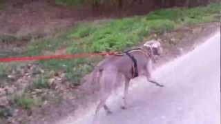 Hund Zieht Rad - Wichtig Das Richtige Hundegeschirr Mit Leine Zugtraining Beim Fahrrad