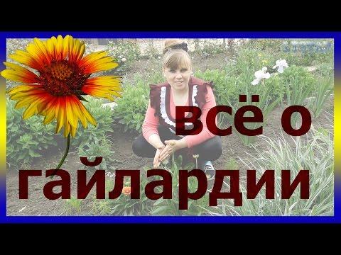 Гайлардия - цветы для клумб. Гайлардия посадка выращивание розмножение болезни полив цветение