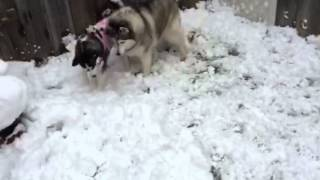 生まれて初めて見る雪に興奮して跳ね回るハスキー犬.