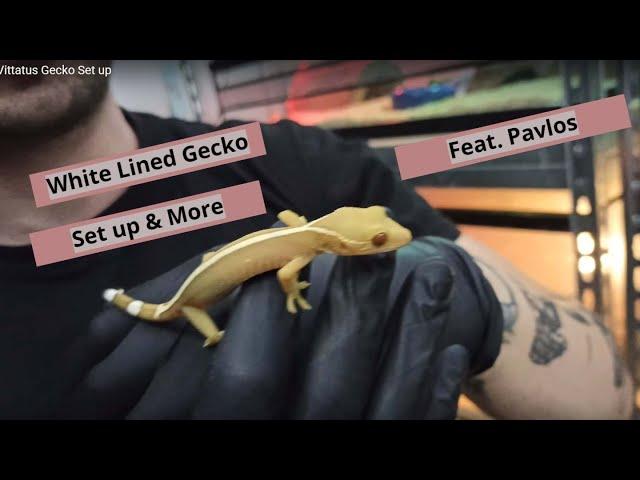 Vittatus Gecko Set up | White Lined Gecko | Feeder Strs