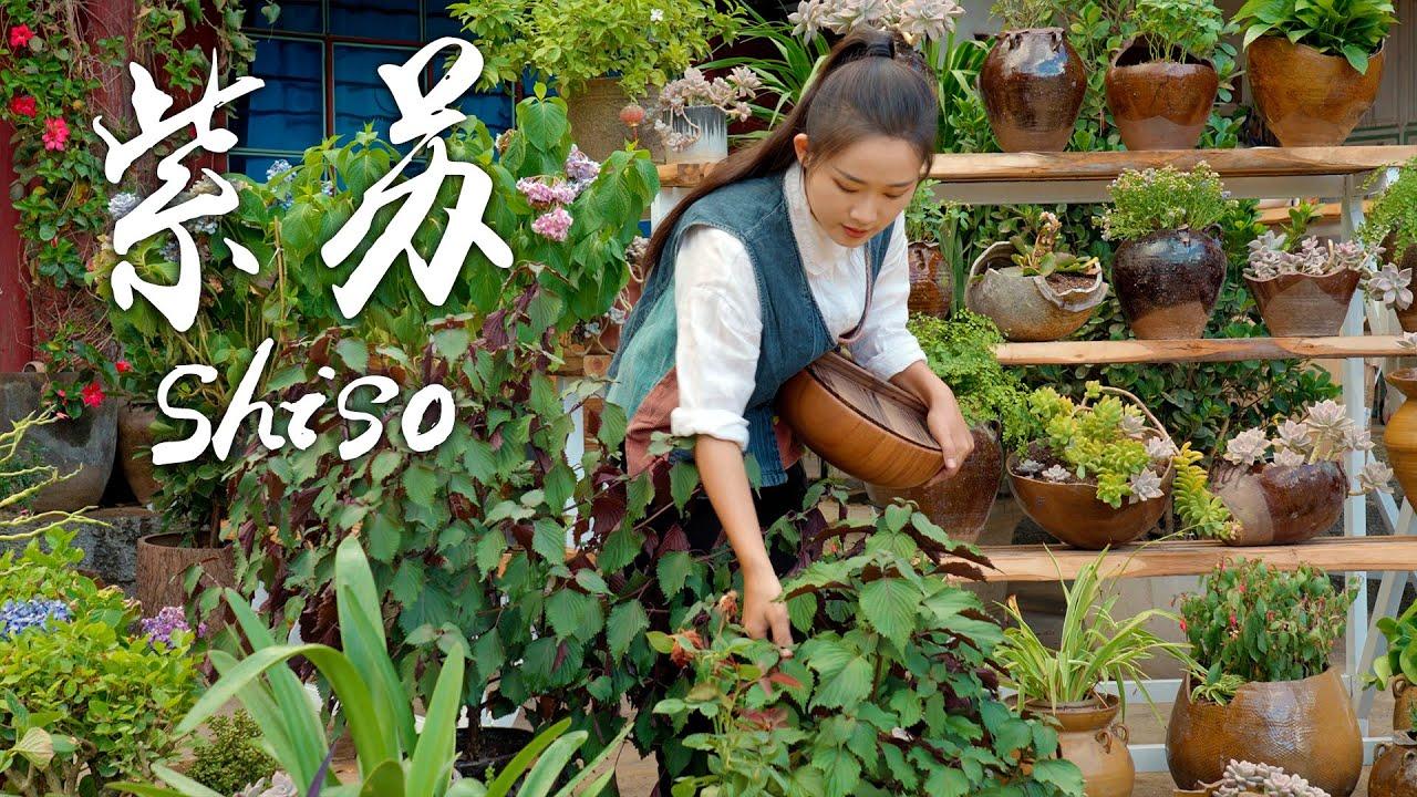 紫苏——双色树叶里藏着的清新美味【滇西小哥】