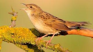 Grasshopper Warbler. Singing bird.