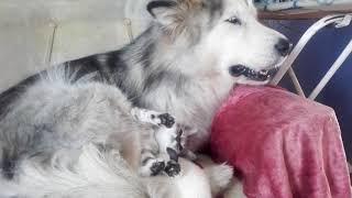 когда маламут завел себе котенка)))
