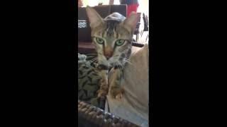 """旅行先のキューバで出会った猫のかわいい""""ふみふみ""""行動です。 ねこのき..."""