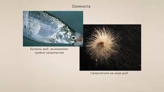 Оомикота (Оомицеты). Урок биологии