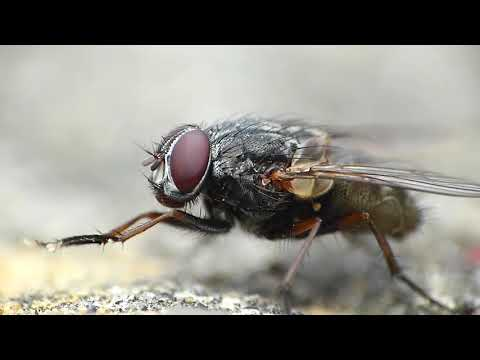 Insect name - Housefly