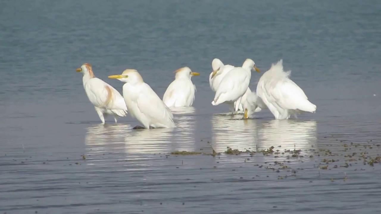 Τεράστιο λευκό πουλί βίντεο