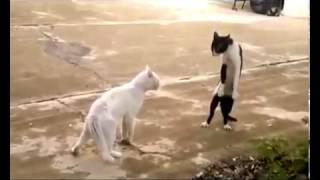 ▶Кошки ходят на двух лапах Юмор! Прикол! Смех Kat   YouTube 360p