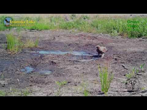 Eastern imperial eagle / орел-могильник / Aquila heliaca. Encyclopedia of Wildlife Project