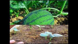 افضل طريقه لزراعه البطيخ في المنزل |1| Grow watermelon at home