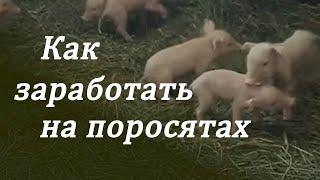 разведение свиней +в домашних условиях 4 недели после опороса