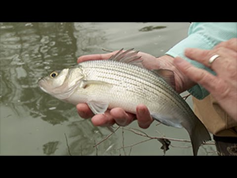 Maumelle River White Bass Run