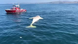 Massive Great White Shark!!! Feasting on a Grey Whale Near San Clemente Pier, Orange County, Ca