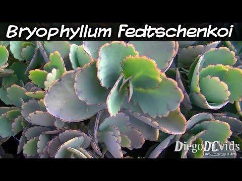 Kalanchoe fedtschenkoi (Crassulaceae - Kalanchoeae) Calanchoê-fantasma