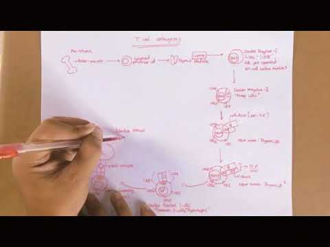 Vid  Study Guide T Cell Ontogeny  2.0