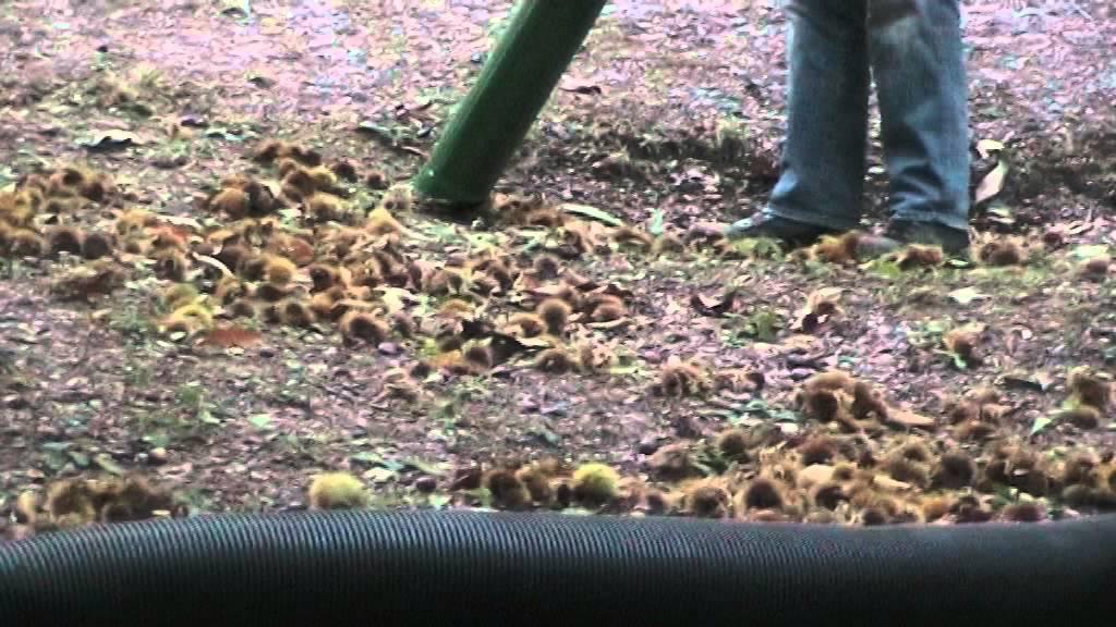 Raccolta castagne youtube for Raccogliere castagne