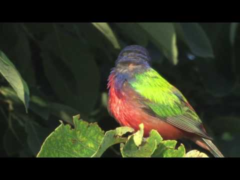 Painted Bunting Portrait