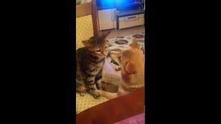 Кошка с собакой , кот играет с собакой , шибаину , кот породы Серенгети , кошки против собак