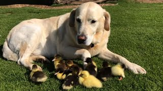 labrador named fred is dad to 9 ducklings