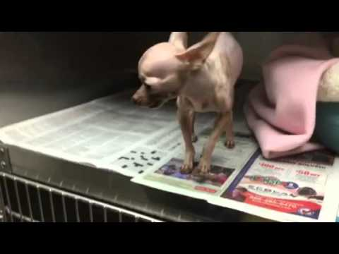 A1610800 Mexican Hairless And Chihuahua Mix At East Valley Youtube