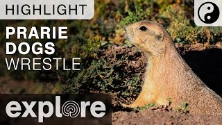 Prairie Dogs Wrestle at the Bison Plains - Live Camera Highlight 06/06/16