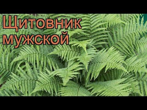 Щитовник мужской (dryopteris filix-mas) 🌿 мужской щитовник обзор: как сажать, рассада щитовника