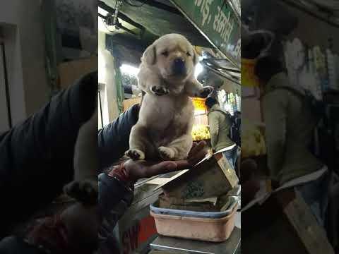 Pet Care - Labrador puppies for sale in Dehradun uttrakhand Delhi Noida Lucknow Ranchi Jharkhand