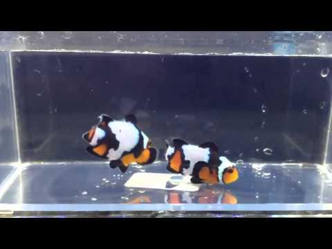 Premium Black Ice Ocellaris Clownfish Pair