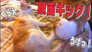 猫たちが取っ組み合いの喧嘩!?顔面に強烈なキックを放つ…!!
