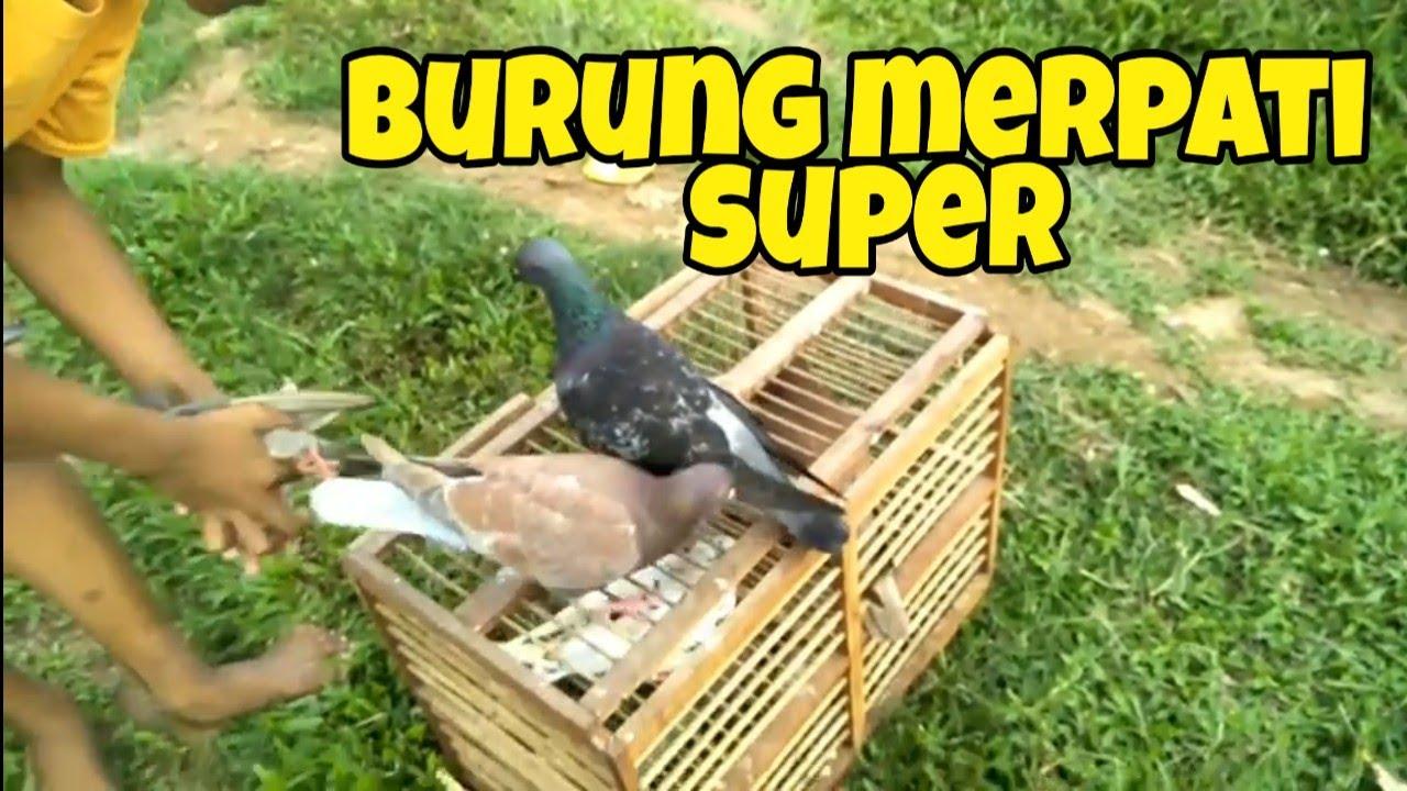 Download Burung Merpati Berkembang Biak Dengan Cara Pics My Bird