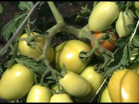 Сорта помидор для открытого грунта - видео