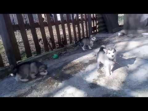 Щенки аляскинского маламута родились 03.01.17 (2)