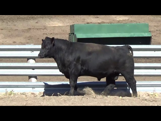 Connealy Angus Lot 188