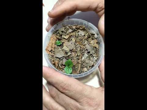 Видео 2. Амурский виноград из косточки. 07.04.2020 Ефремов Альберт