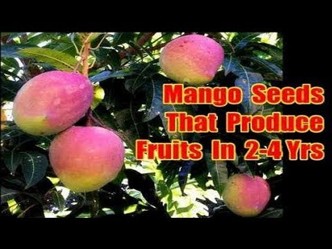 Which Mango Seeds Grow Fruits In 2 To 4 Years, Polyembryonic Seeds