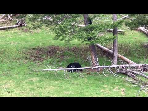 Yellowstone Black Bears 2018