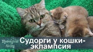 ЭКЛАМПСИЯ - СУДОРГИ у кошки, молочная ЛИХОРАДКА