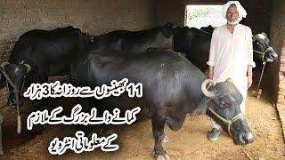 Small Dairy Farm Sialkot | Buffaloes Dairy Farming in Urdu | Cattle Dairy Farm | Buffaloes Farming