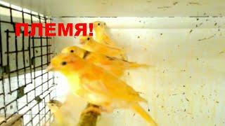 Содержание птенцов после отделения их от родителей,Канарейки