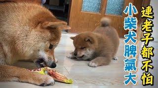 小柴犬脾氣大,連老子都不怕,只聽媽的話!😆