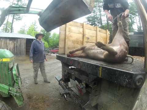 2013 05 30 croydon bardo farm pig slaughter 3