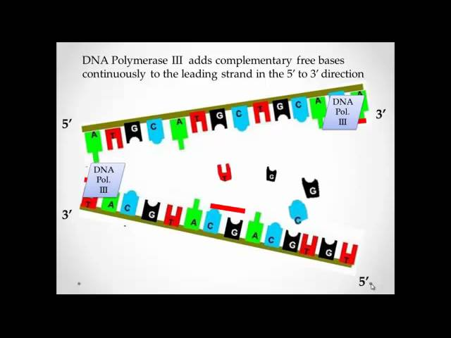 What Are The Steps Of Dna Replication