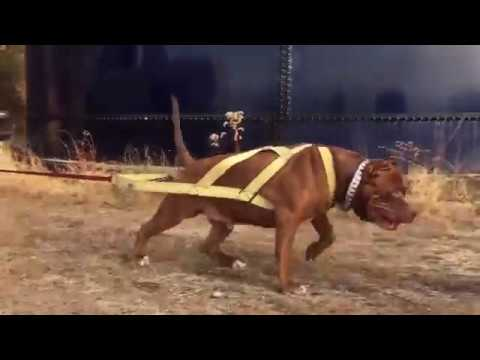 Giant family pit bull THE HULK & friends