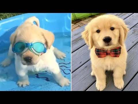Funniest & Cutest Golden Retriever Puppies #37 - Funny Puppy Videos 2019