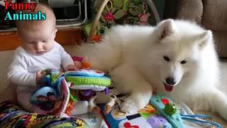 サモエドの犬と赤ちゃんと素晴らしい瞬間 - 犬が赤ちゃんのコンピレーシ...