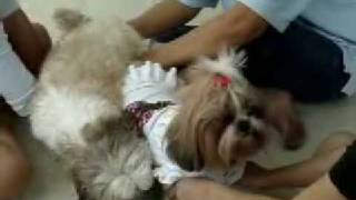 Tung-may's Video @ Smile Shihtzu Kennel 2