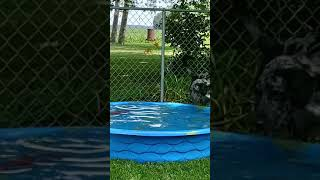 Catahoula Leopard Dog Blue...1st time larger pool...90F degrees out