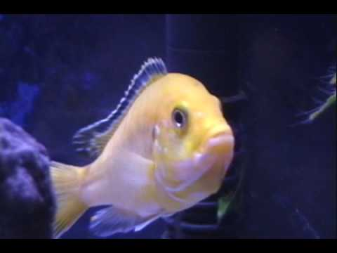 (HQ) Two Cichlids holding in the same tank.